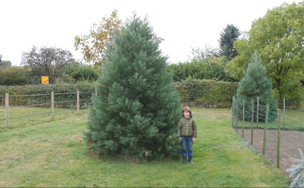 Giant Sequoia RedwoodFarms Sequoiadendron giganteum 3 meter